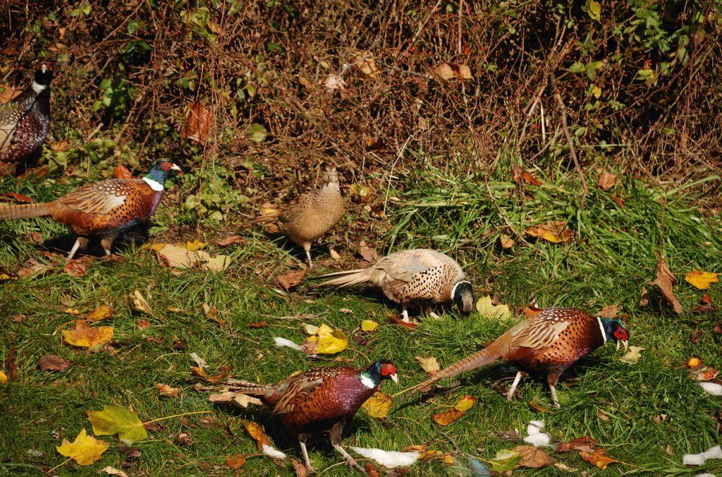 Rockport pheasant farm - Hackettstown NJ