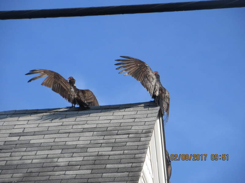 Turkey Buzzards Influx Hackettstown Nj
