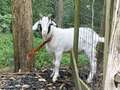 Goat found liberty township